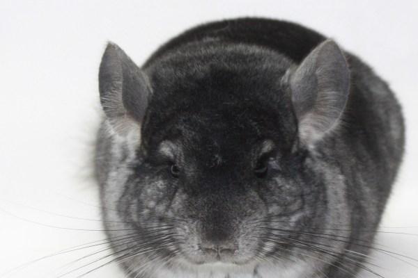 Baby Standard Gray Female Chinchilla