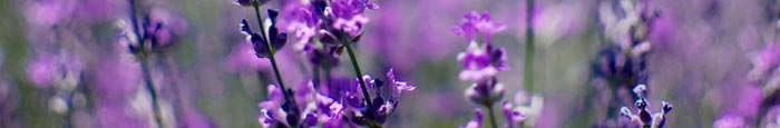 lavender oil for allergies