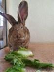 Lisa konijn