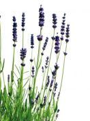 lavendar essential oil benefits