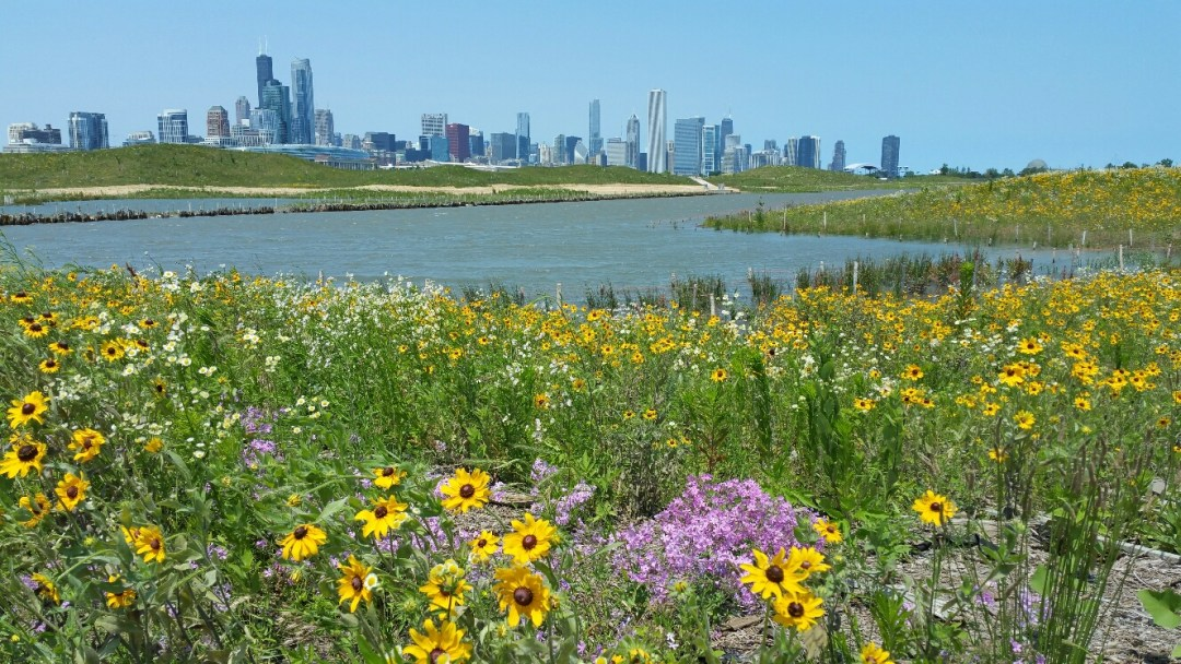 A field of wildflowers with a lake in the background and the Chicago skyline on the horizon.