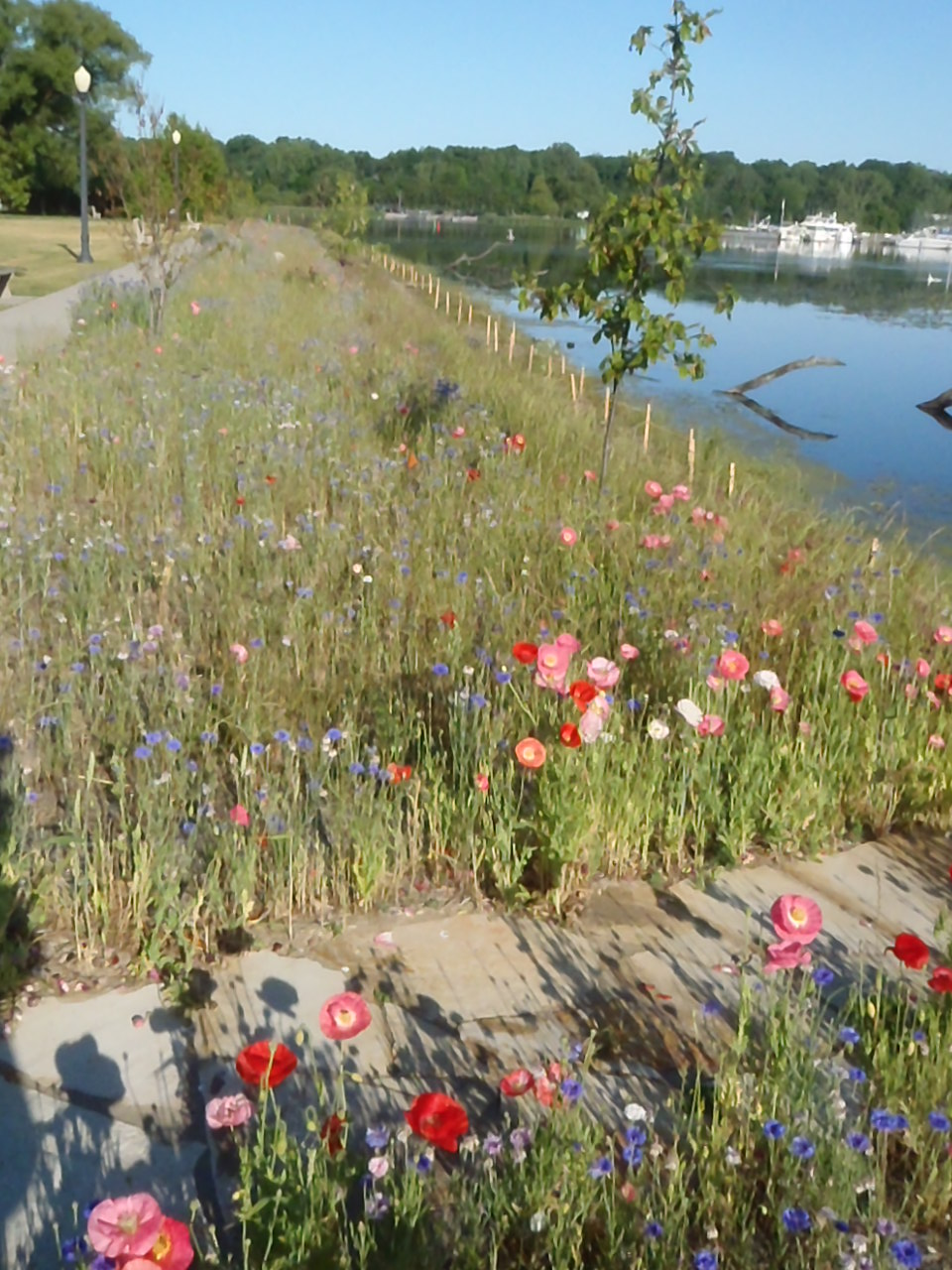 White Lake shoreline with native plants returning.