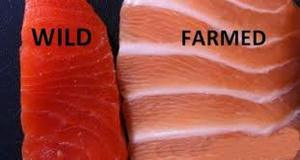 Farmed Salmon is FULL of Antibiotics and Mercury, Here's How to Tell If Your Salmon is Safe