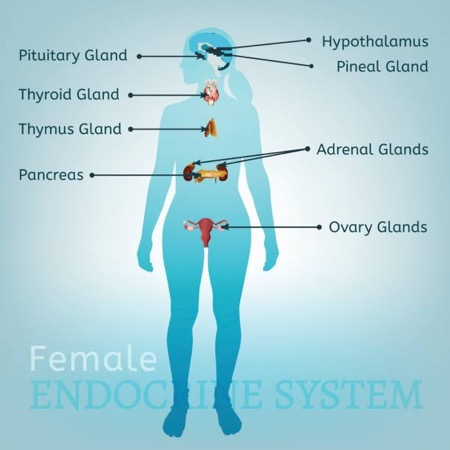 Female Endocrine System - balanced hormone signs