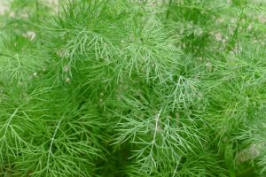 Dill can ease colic pain and flatulence