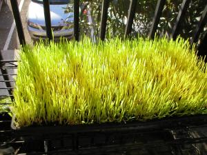 day-four-of-wheatgrass-growth-cycle