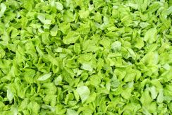 young-lettuce-texture-1624911