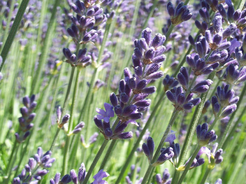 Lavender - James