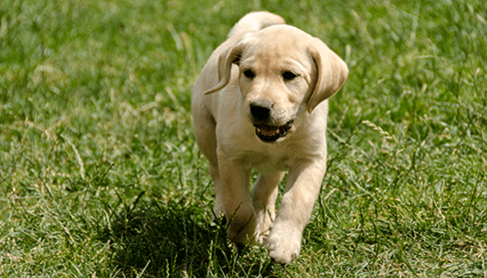 When my Puppy Runs, She is Crooked – She Looks like a Crab. Will She Outgrow This?