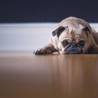 a sad pug, staying at home because of coronavirus