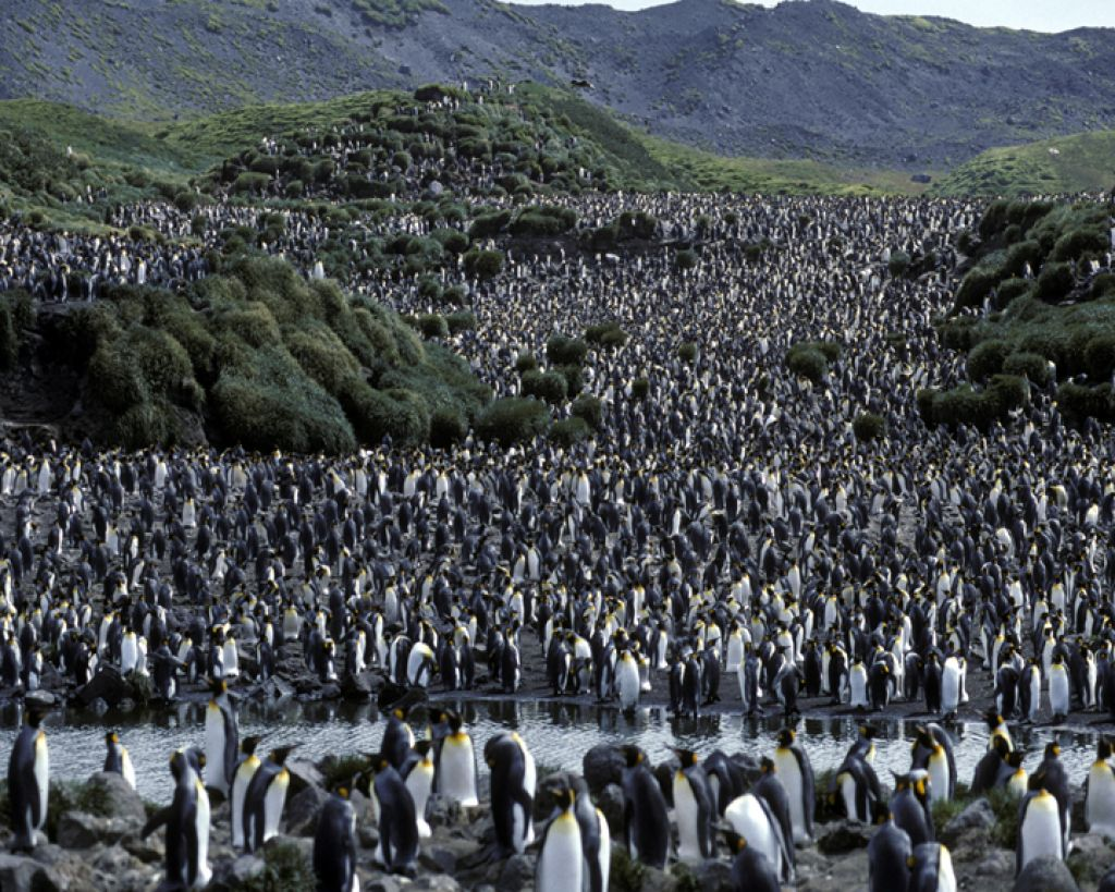 King penguin (Aptenodytes patagonicus) colony on Heard Island.  Image credit: Eric Woehler.