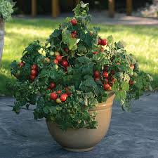 Tucker's Private Pot of Cherry Tomatoes