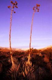 Century plant, Mojave Desert in California