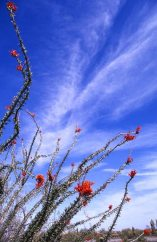 Ocotillo in bloom, Sonoran Desert in Arizona