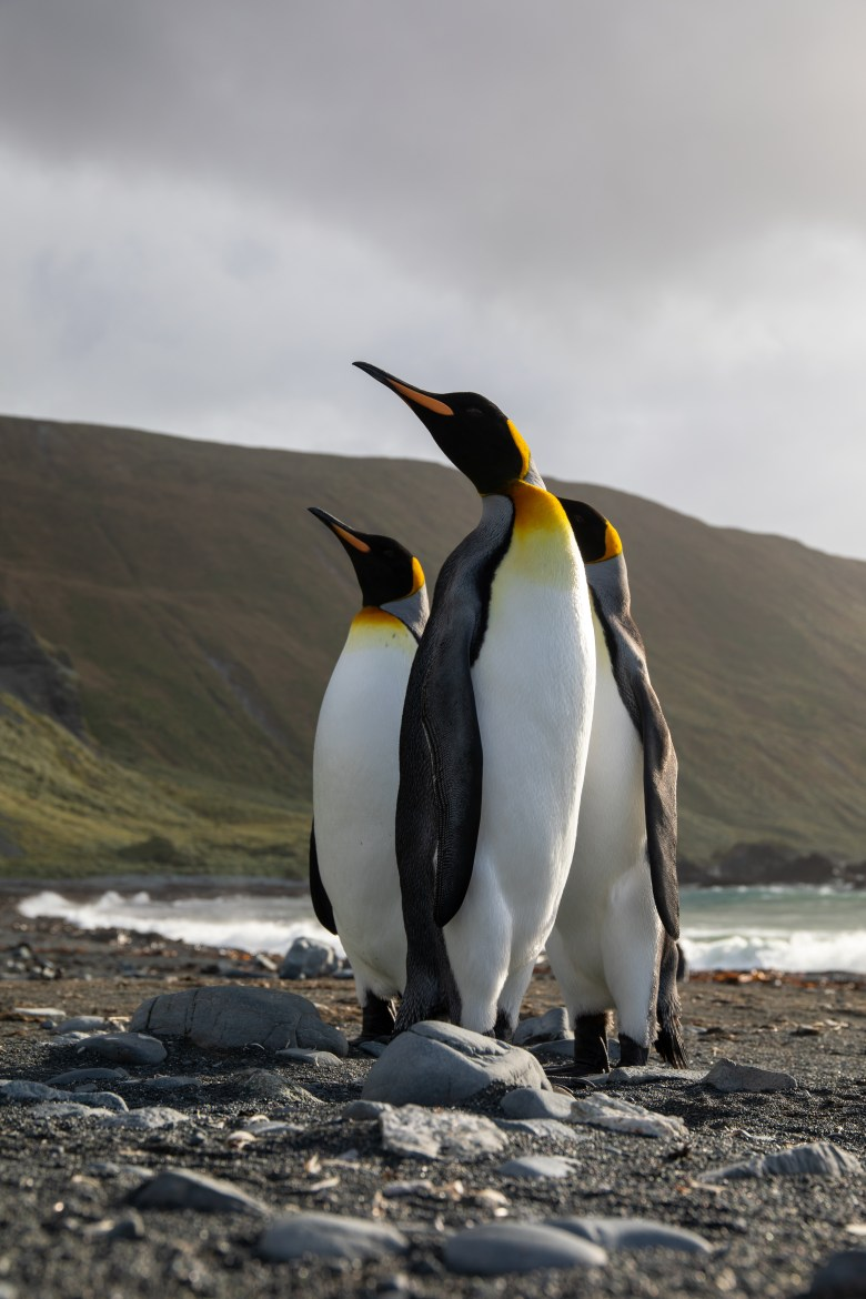 The second largest species of penguin, the King penguins have striking golden plumage