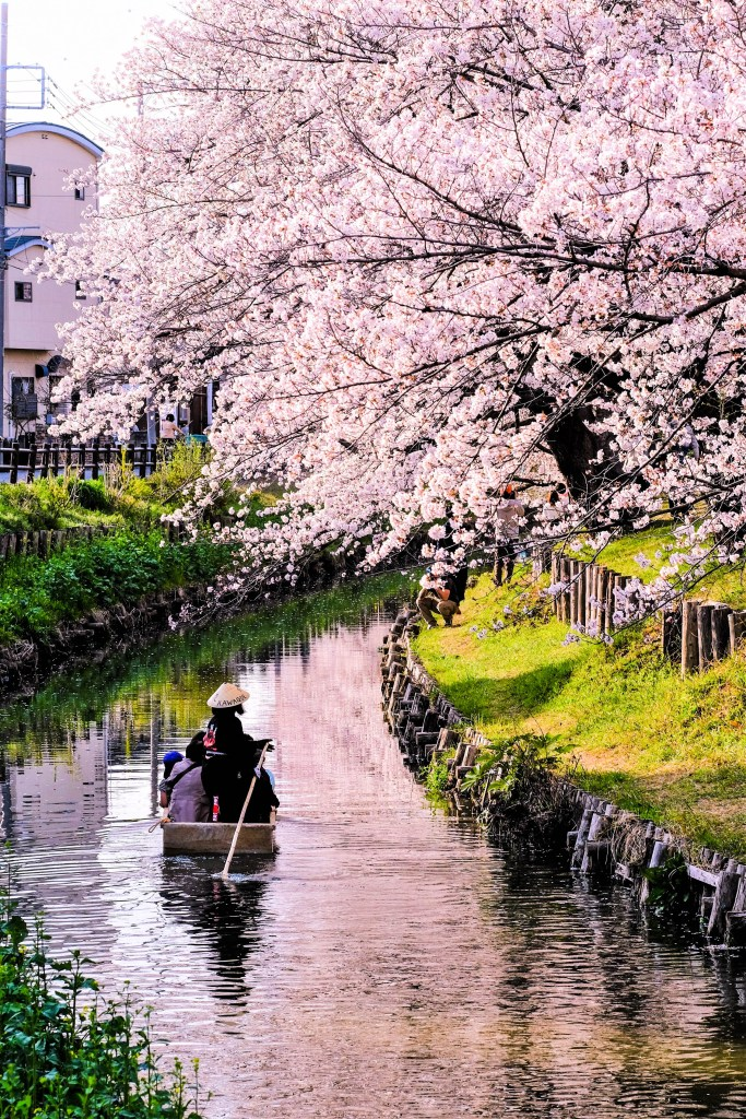 Boat ride during the Cherry Blossom Festival at Shingashi river