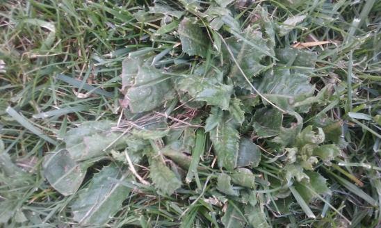 grassweeds