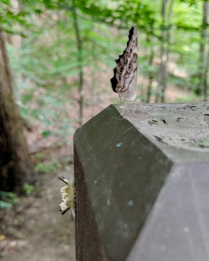In this photo (taken while hiking), a yellow caterpillar is positioned on the side of a trail marker, and a brown-and-tan moth (likely what it's becoming) is positioned just above.