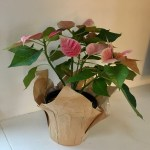 This poinsettia with pink and fuchsia blooms and green leaves sits against a white wall and white counter-top.
