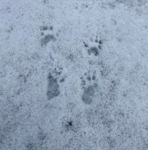Four prints are grouped together in the snow (similar to baby feet with toes and claw marks extending)—likely a racoon's.