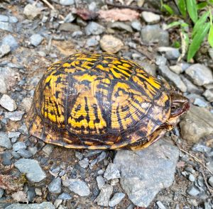 This image shows a woodland box turtle with a yellow and black patterned shell peeking its head out, with its eye just visible. It's on gray gravel terrain, keeping an eye on me as I snap this photograph.