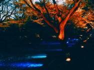 紅葉旧古河庭園〜ライトアップ六義園16