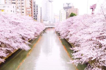 目黒川桜道02