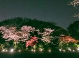 東京都庭園美術館桜06