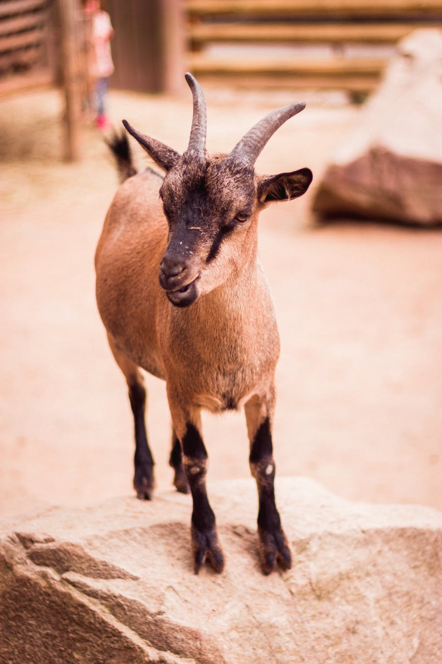 photo of brown kid goat standing on boulder
