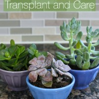 Succulent Care and Transplant Tips