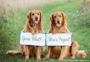 Pregnancy Announcement | Expecting Signs | Pregancy Reveal photo props | big sister brother | dog sign