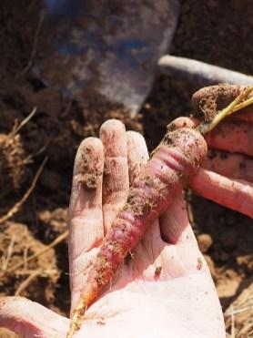 'Spanish Black' carrots