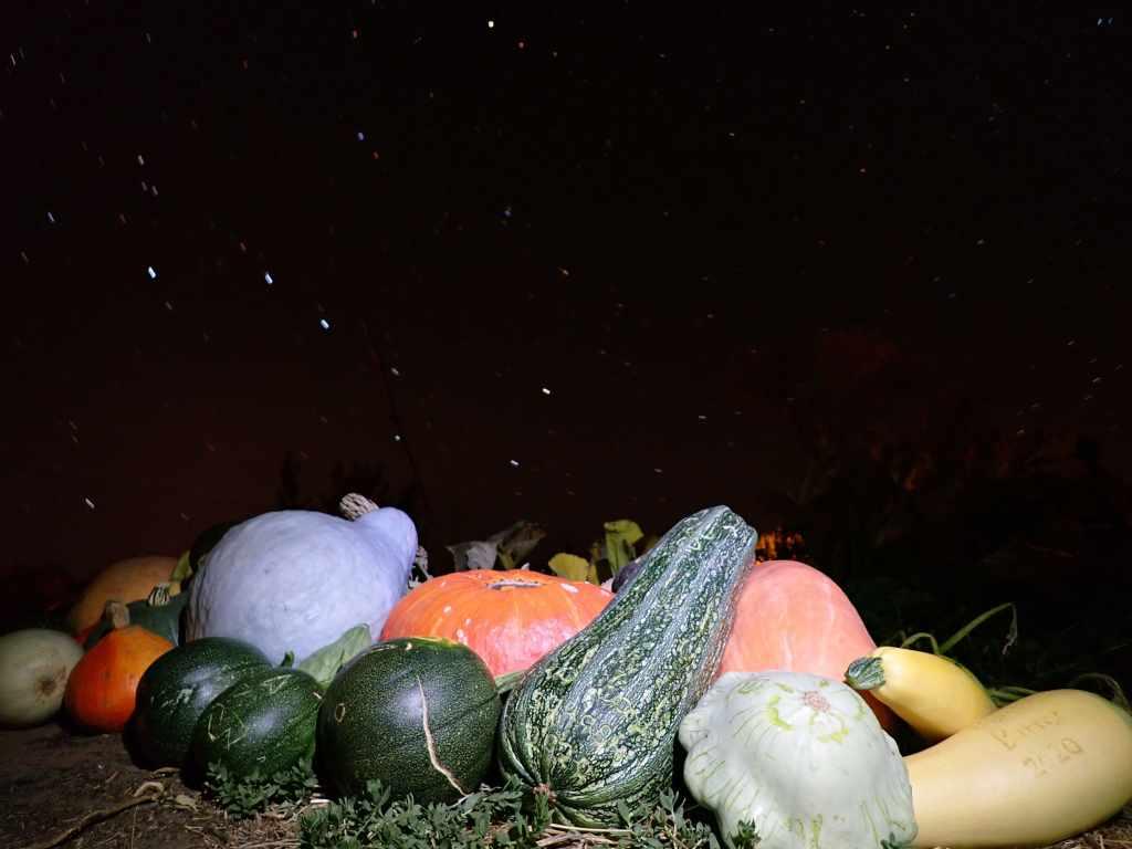 Squash harvest under big dipper