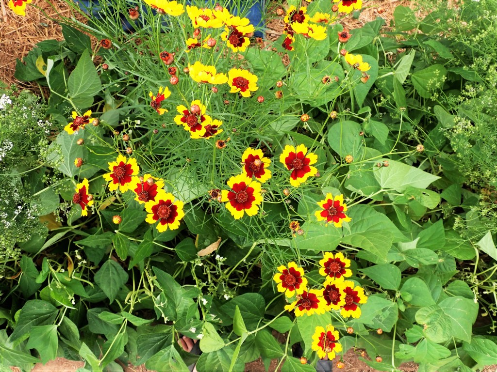Yellow and dark red Plains coreopsis flowers planted between bean plants.