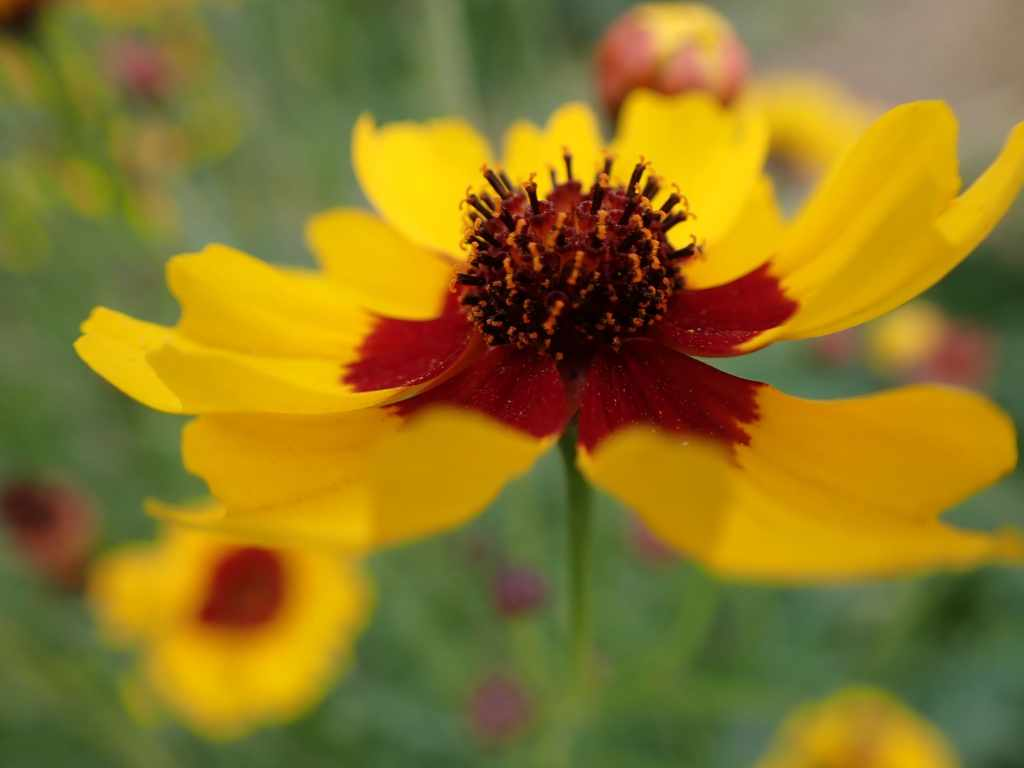 Yellow and dark red Plains coreopsis flower close up.