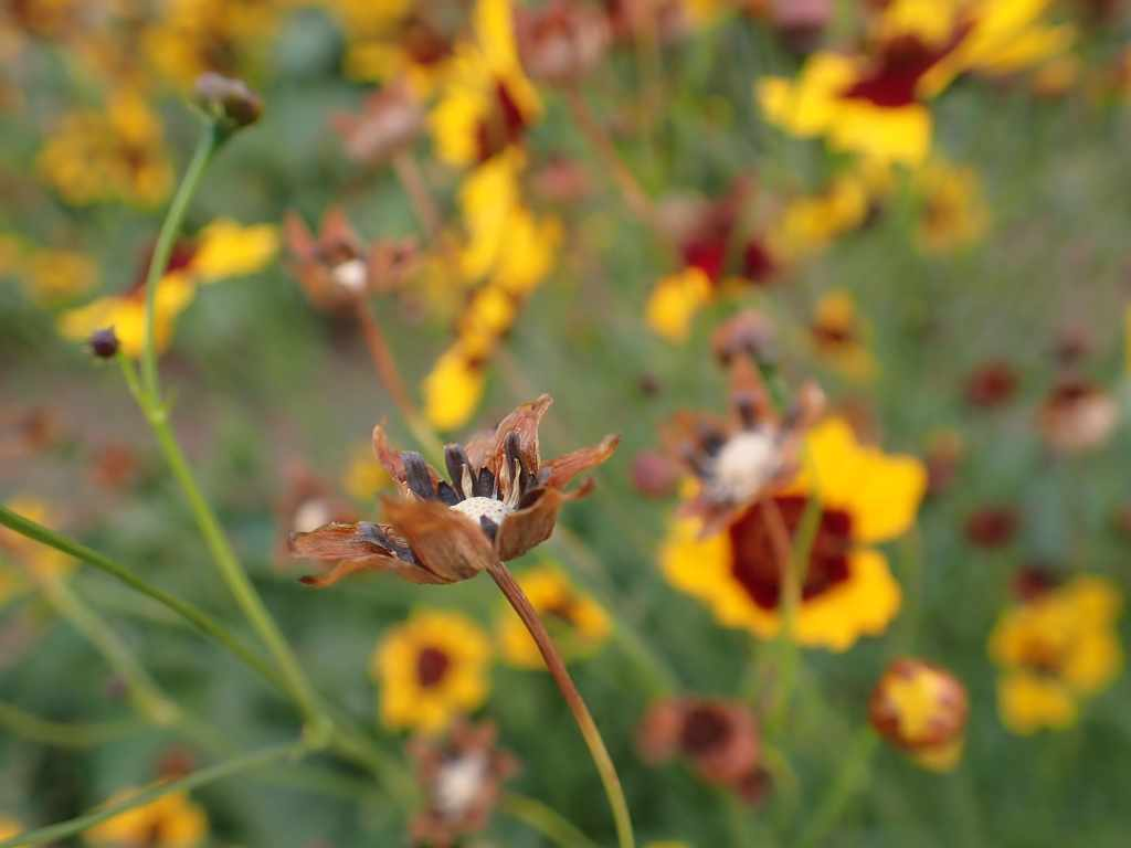 A brown seed head with yellow and dark red flowers in the background