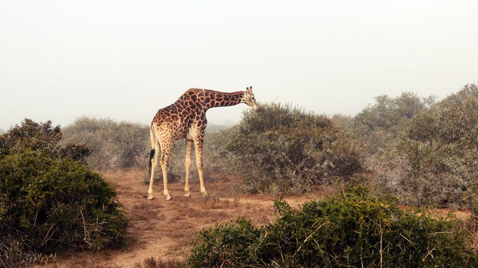 Giraffes At Shamwari