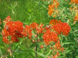 The intense orange flowers of butterflyweed is a beacon for the monarch butterfly.