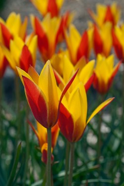 Tulipa clusiana 'Tubergen's Gem' - Species or Wild Tulip