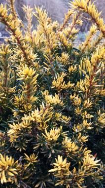 Taxus cuspidata 'Nana Aurescens'