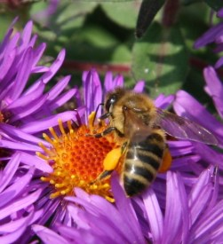 Bee on aster