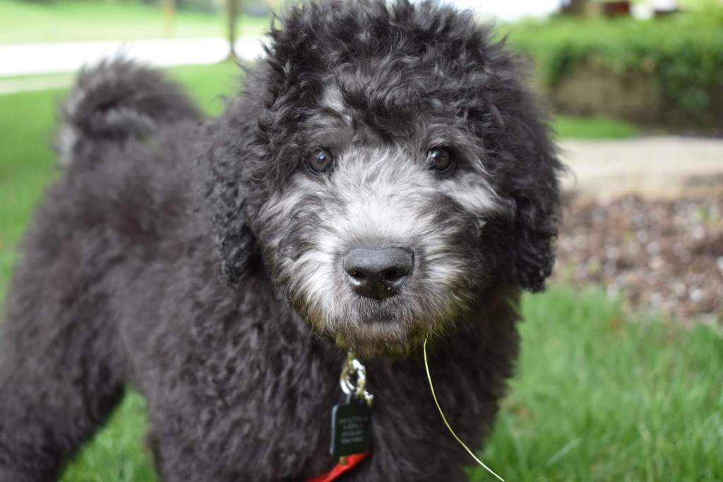 Black whoodle puppy outside