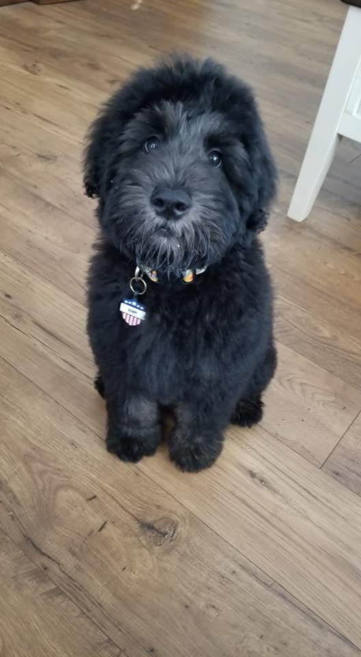 Black whoodle with a very cute black nose