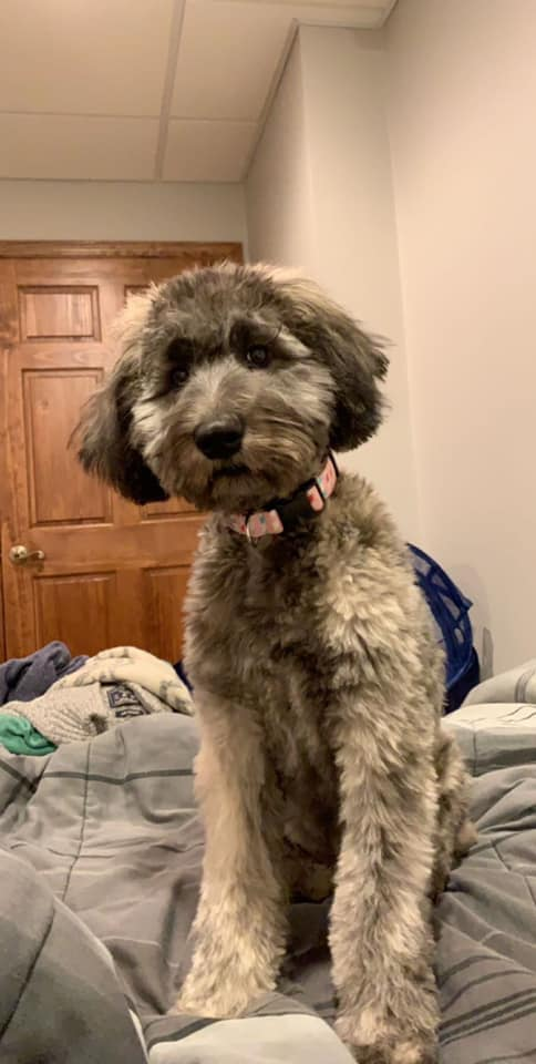 A grey whoodle puppy sitting on a bed