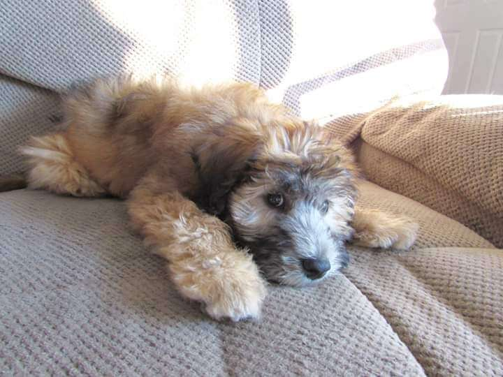 Jimmy the brindle wheaton colored whoodle as a puppy and laying on the couch