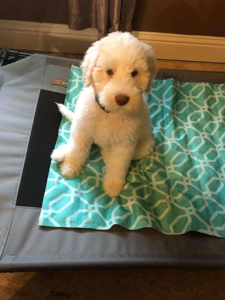 White whoodle puppy on a cot bed