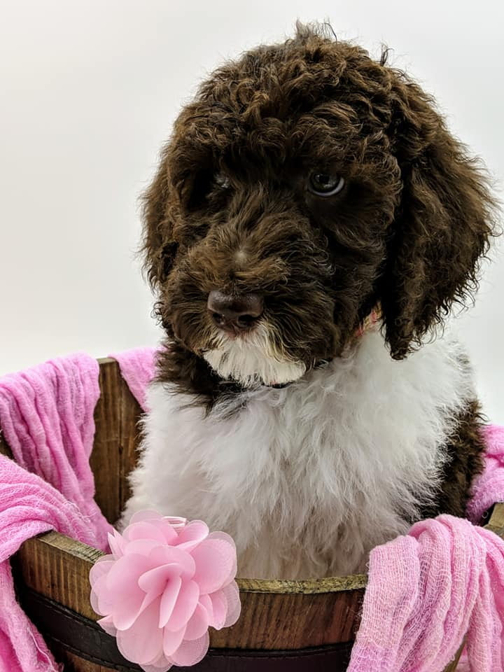 Abigail as a puppy laying in a basket with a pink blanket