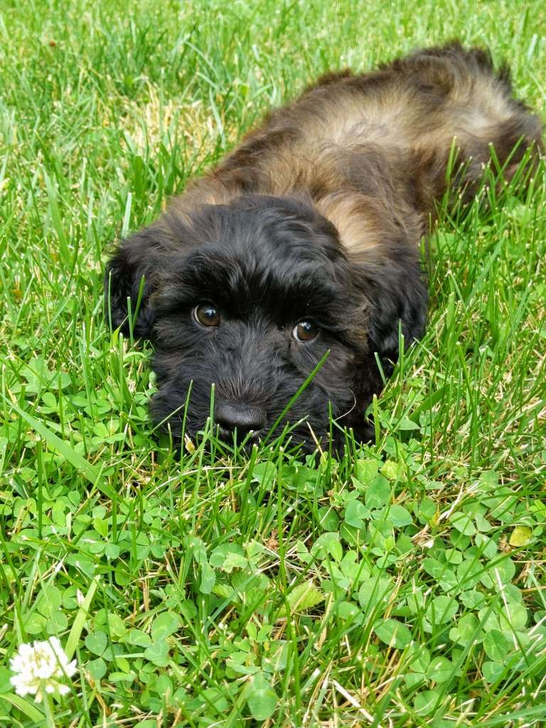 Franklin the wheaton colored whoodle puppy laying near some clover
