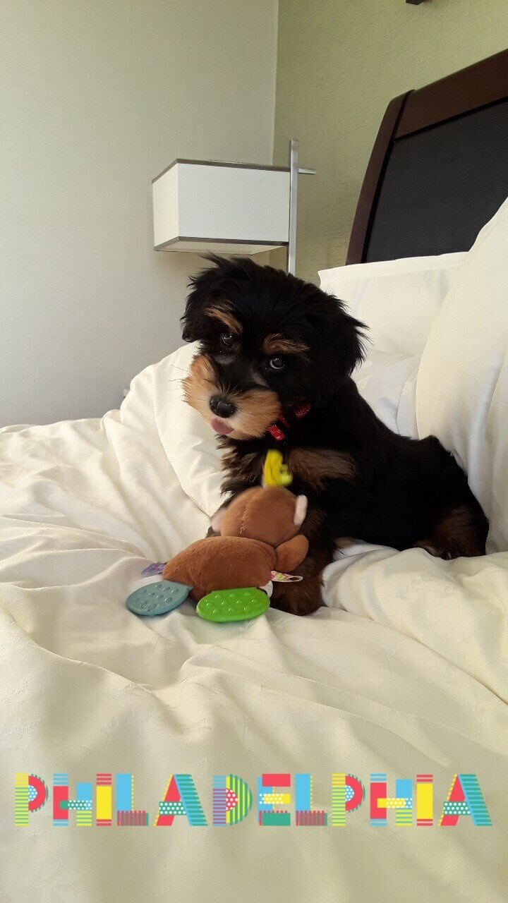 Liberty as a puppy with a toy
