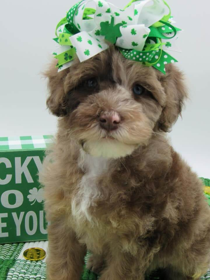Lucy with a St. Patrick's day bow in her hair